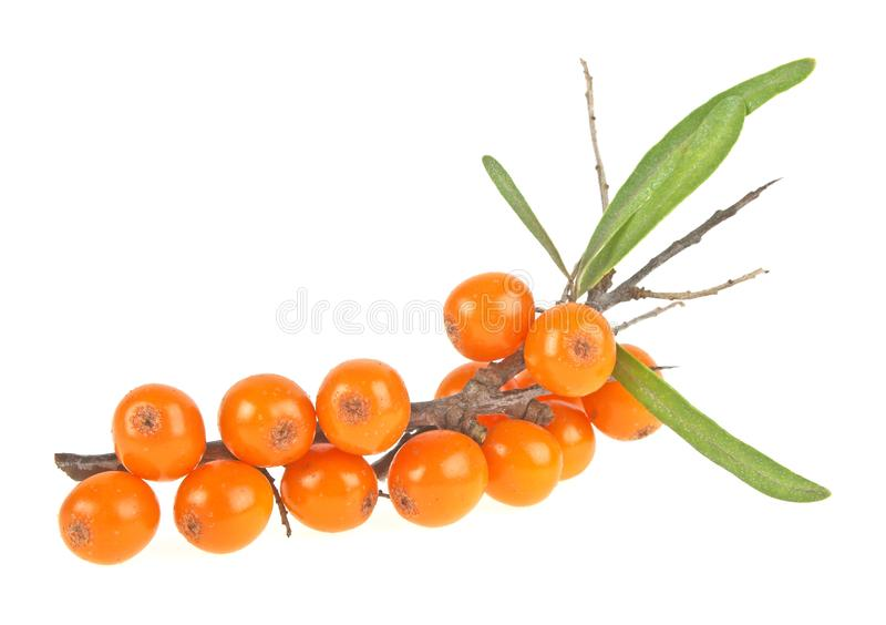 Sea buckthorn berries branch on a white background stock photo
