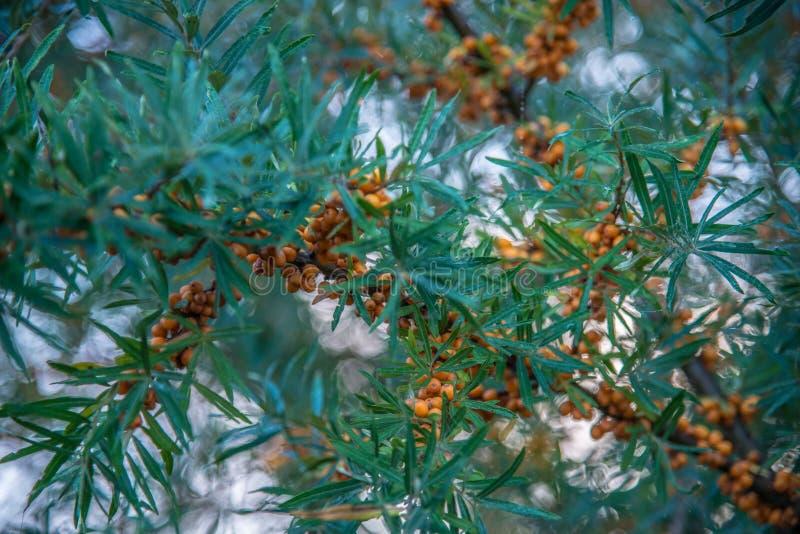 Sea buckthorn berries closeup stock photography