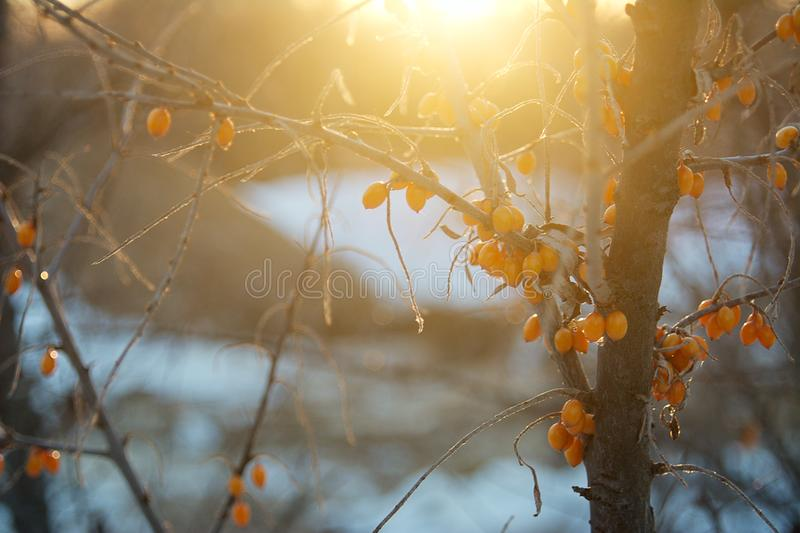 Sea buckthorn berries in winter on bare branches frozen. Frosty Sunny day royalty free stock photo