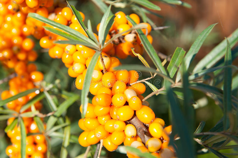 Sea buckthorn. On braches in sunny day stock images