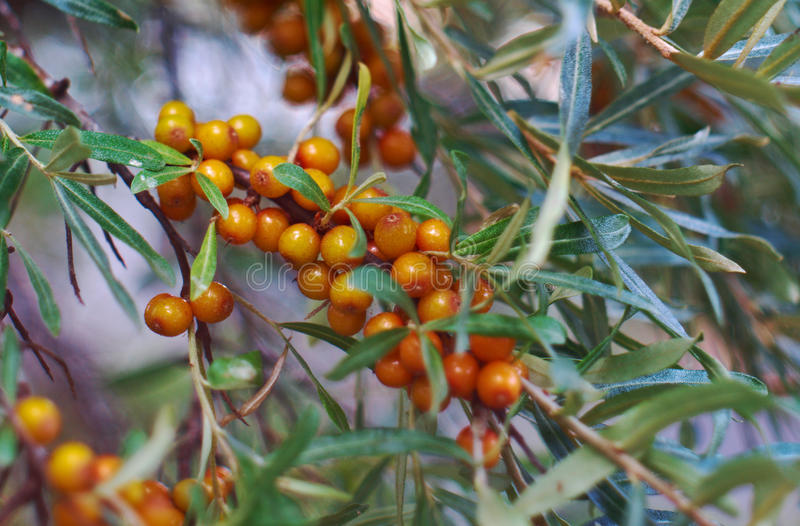 Sea-buckthorn. Branch l orange berries royalty free stock photos