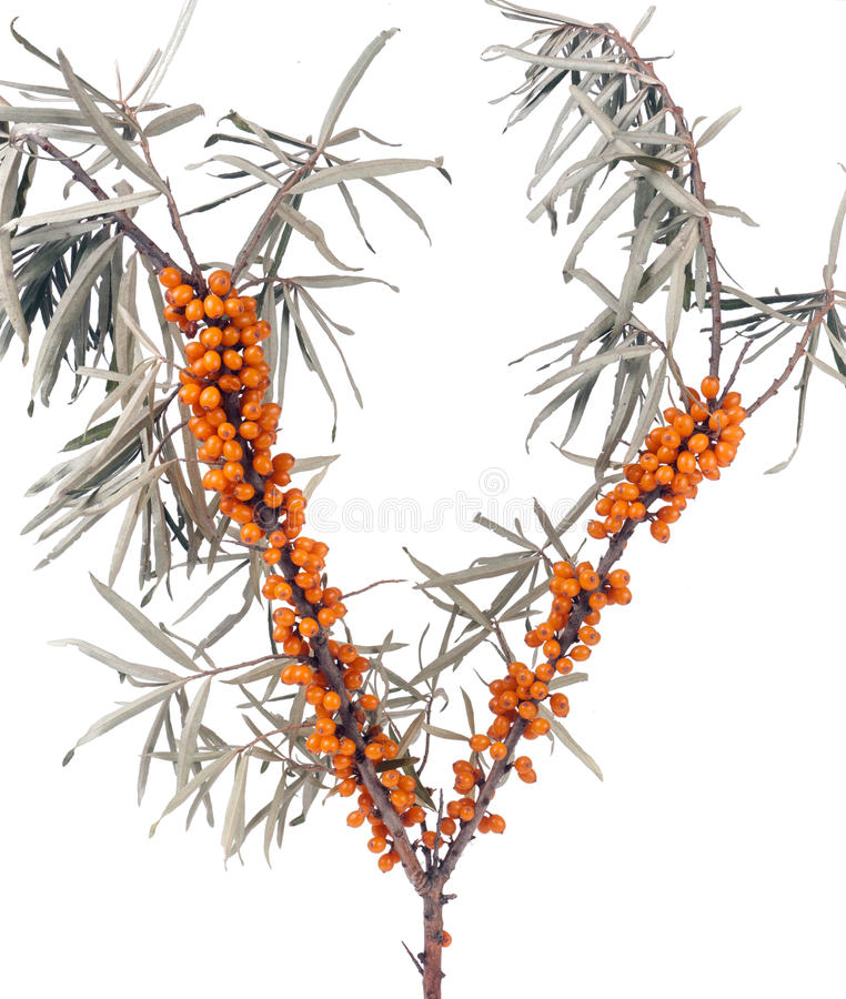 Sea buckthorn branch with leaves isolated on white background.  royalty free stock photo