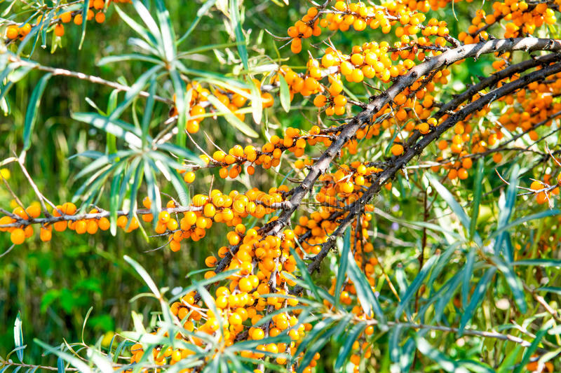 Sea buckthorn. Branch with yellow berries of sea buckthorn and green leaves stock photography