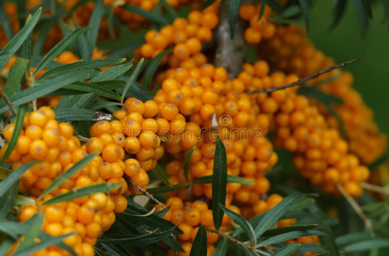 Sea buckthorn branches strewn with orange berries in the garden.  royalty free stock image