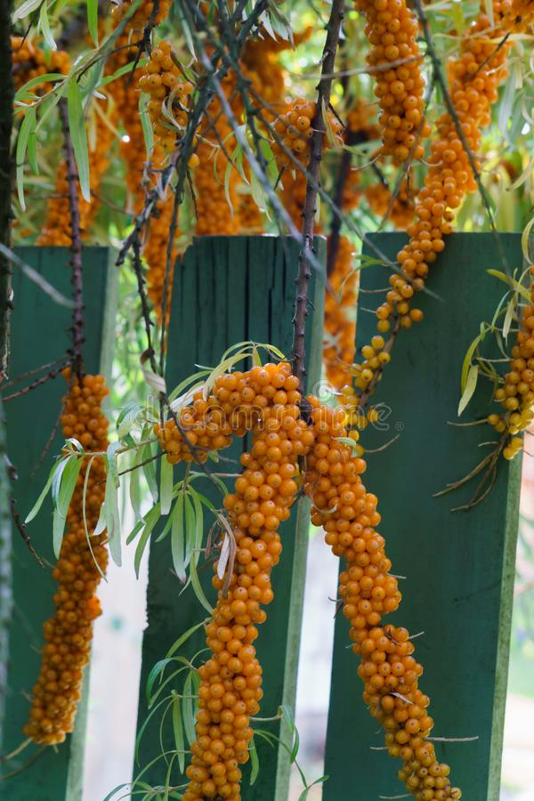 Sea buckthorn branches strewn with orange berries in the garden.  royalty free stock photography