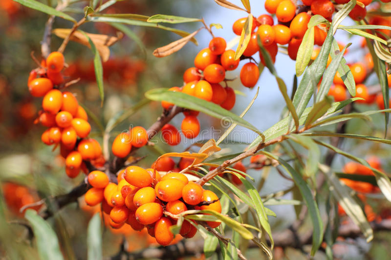 Sea-buckthorn. Close-up of delicious and healthy ripe sea-buckthorn berries stock image