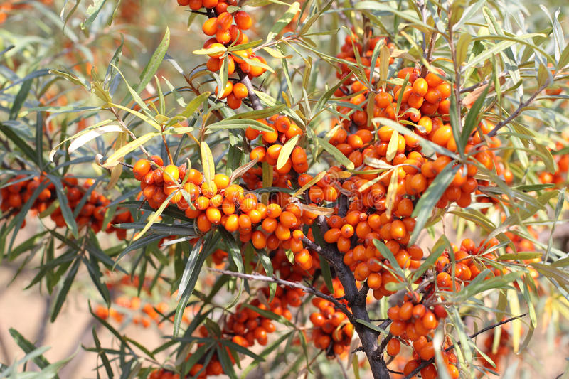 Sea-buckthorn. Close-up of delicious and healthy ripe sea-buckthorn berries stock photo