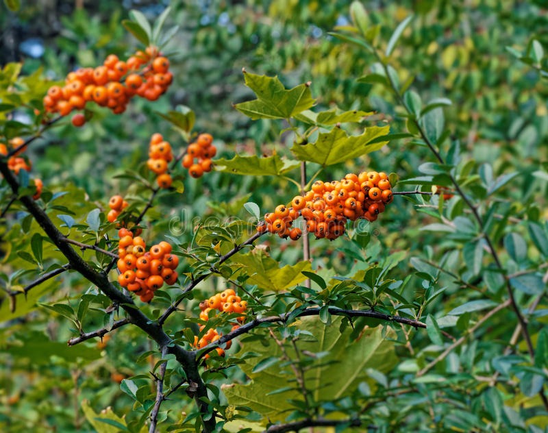 Sea buckthorn. In the end of summer stock photos