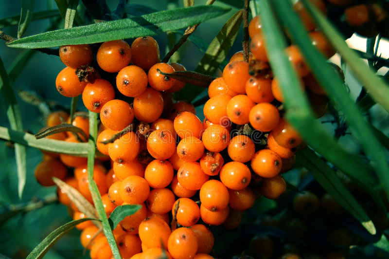 Sea-buckthorn fruits, Hippophae rhamnoides royalty free stock photos