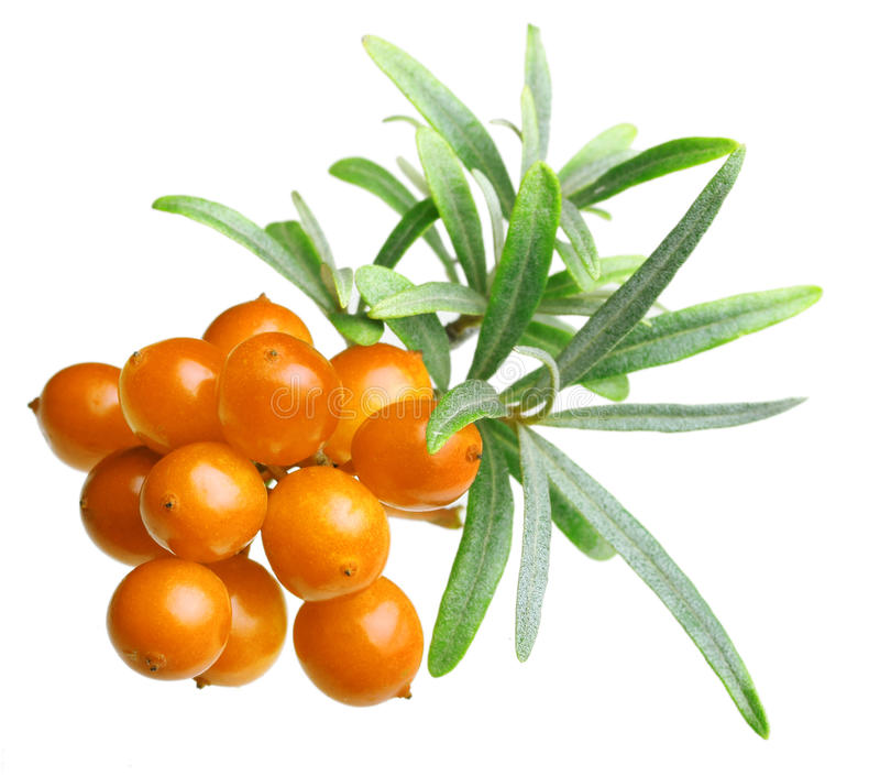 Sea buckthorn isolated. On the white background stock photo