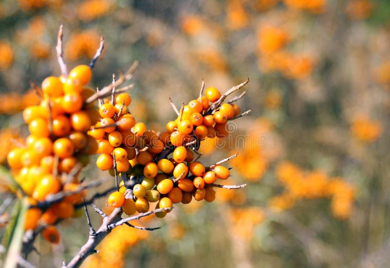 Sea buckthorn, nature and orange berries stock photography