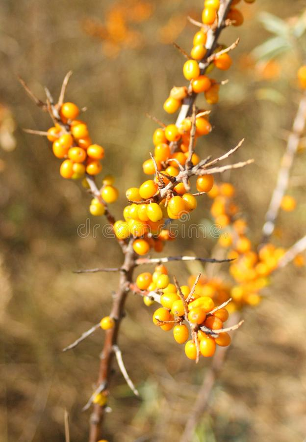Sea buckthorn, nature and orange berries royalty free stock photography