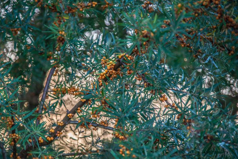 Sea buckthorn plant and berries stock images