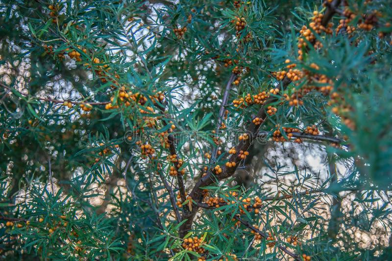 Sea buckthorn plant and berries royalty free stock photo