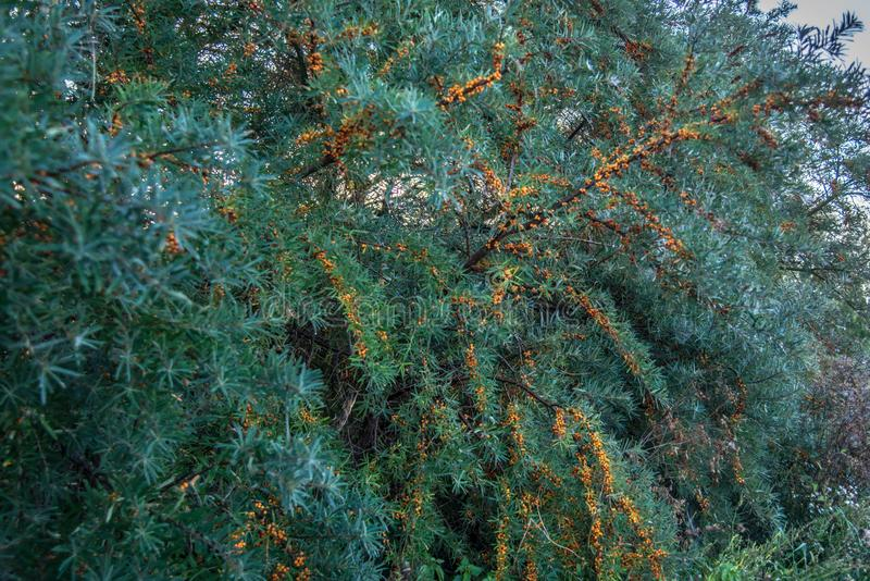 Sea buckthorn plant and berries stock photo