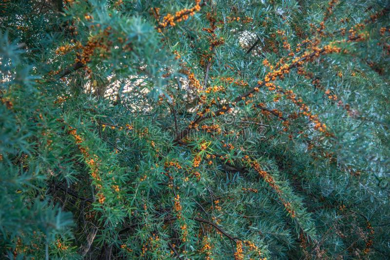 Buckthorn plant and berries stock photo