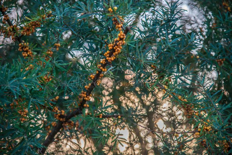 Sea buckthorn plant and berries royalty free stock photography