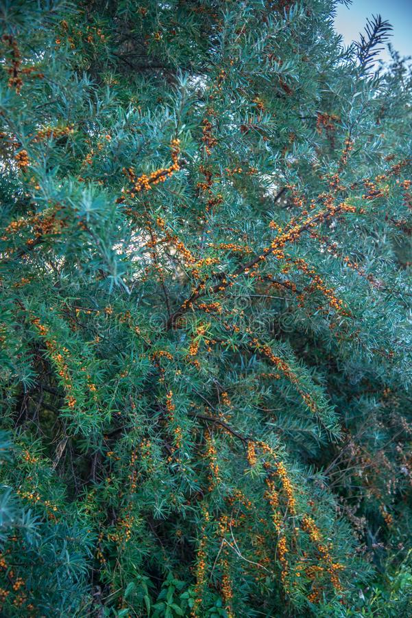 Sea buckthorn plant and berries stock photos