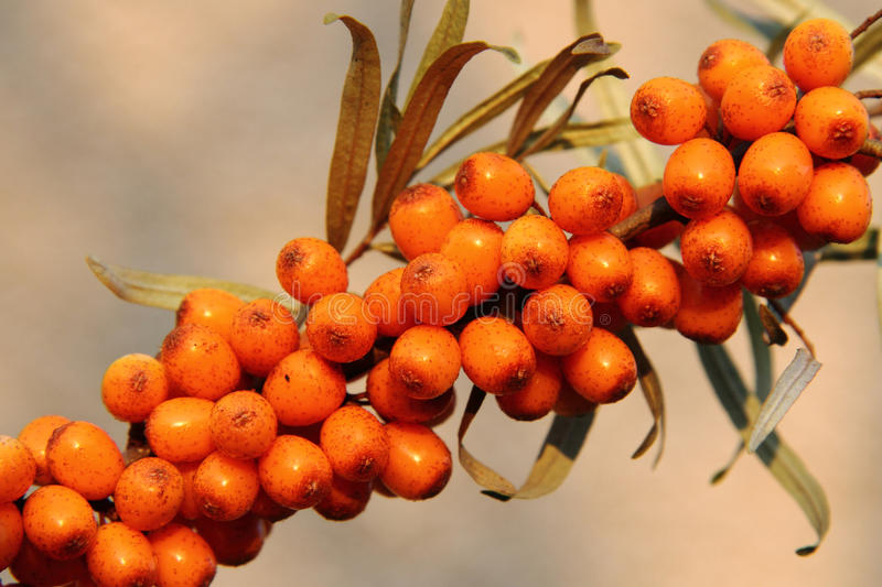 Sea buckthorn (sea-buckthorn). Asi very nice food background stock photography