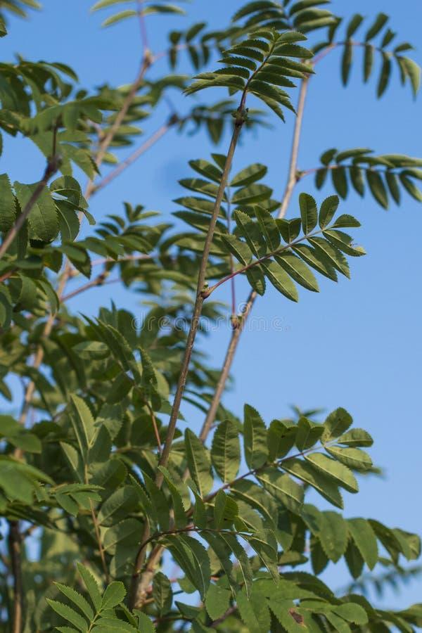Sea-buckthorn tree stock photo