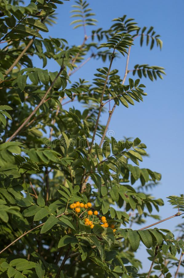Sea-buckthorn tree with berries royalty free stock photos