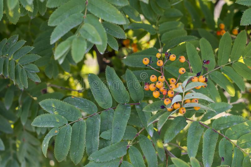 Sea-buckthorn tree with berries royalty free stock images