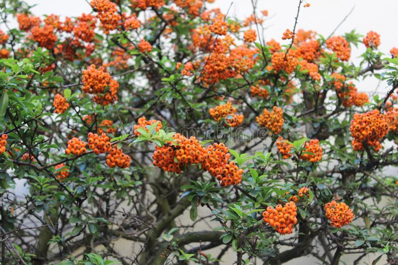 Sea buckthorn tree with ripen fruits royalty free stock photo