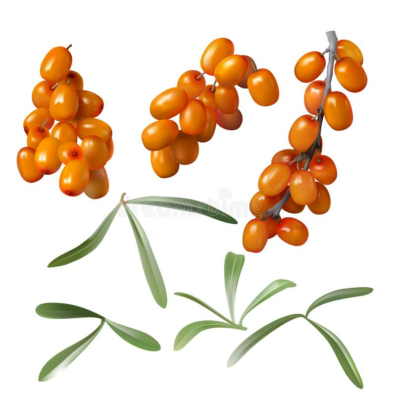Free Sea Buckthorn, Yellow Berries And Green Leaves Royalty Free Stock Images - 199084309