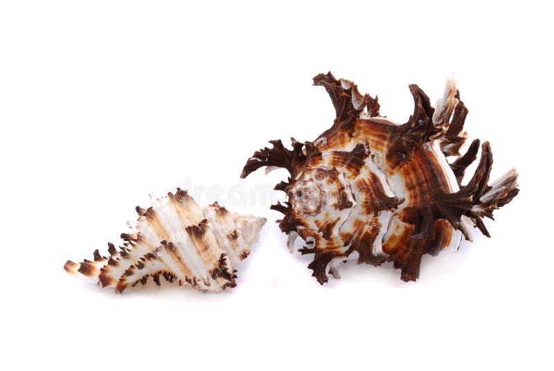 Download Sea cockleshells stock image. Image of life, object, cockle - 11400569