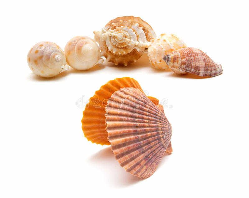 Sea cockleshells isolated on white background. Set of sea cockleshells and seashells isolated on white background royalty free stock images