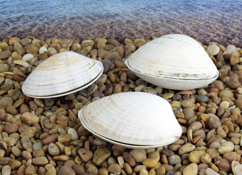 Sea cockleshells. Are formed of limestone. The cockleshell is located on the beach royalty free stock photo
