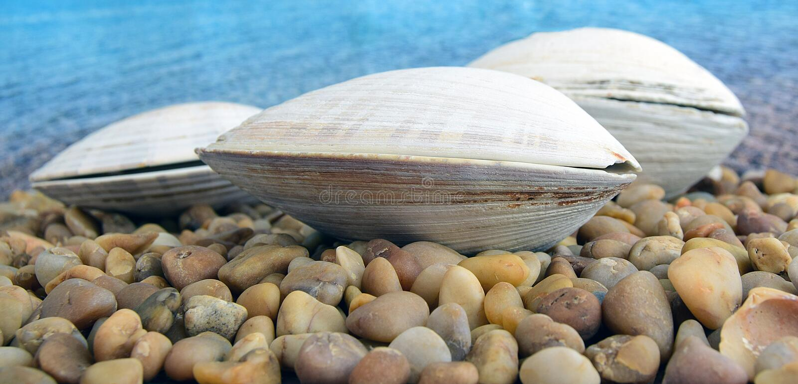 Sea cockleshells. Are formed of limestone. The cockleshell is located on the beach stock photos