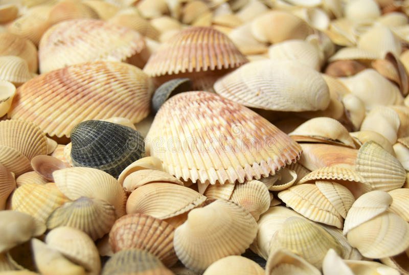 Sea cockleshells. Are formed of limestone. They are located on the beach stock photos