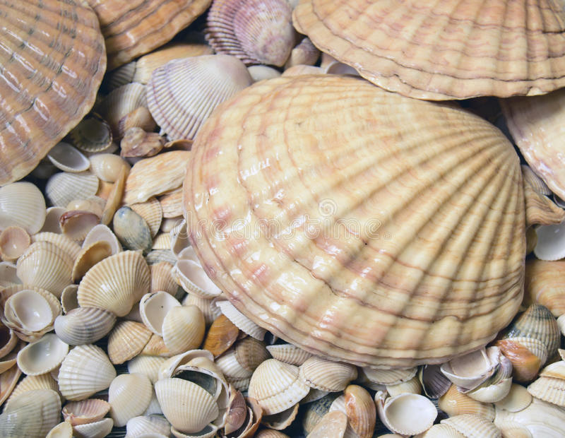 Sea cockleshells. Are formed of limestone. They are located on the beach royalty free stock image
