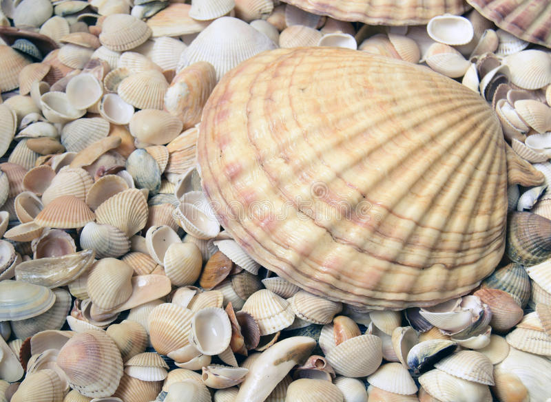 Sea cockleshells. Are formed of limestone. They are located on the beach stock photography