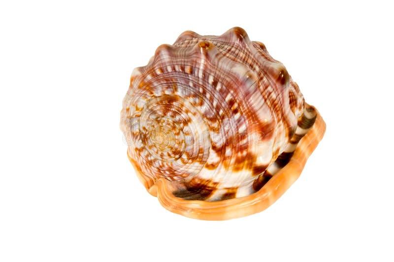 Sea cockleshells . stock images