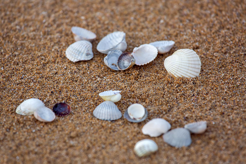Sea cockleshells lie on sand. Sea cockleshells lie on sand, with a small depth of sharpness stock photography
