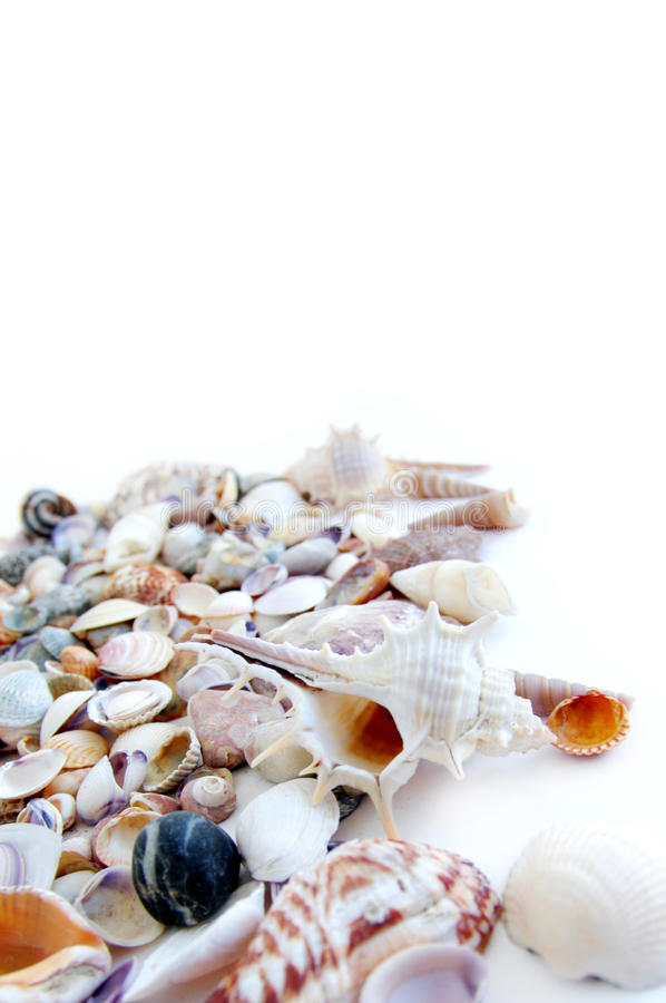 Sea cockleshells. On a white background royalty free stock photos