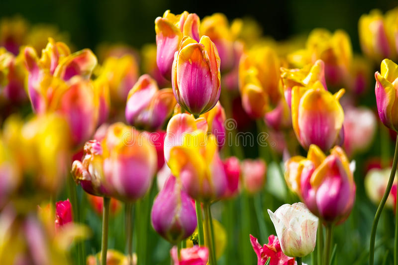 Download Sea of colorful tulips stock image. Image of delicate - 14857593