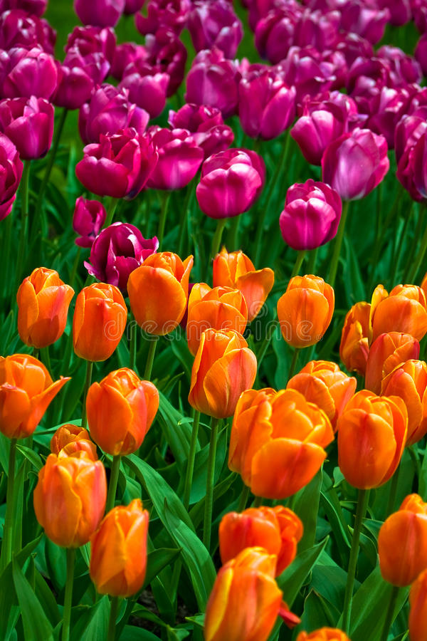 Download Sea of colorful tulips stock image. Image of blooming - 14857695