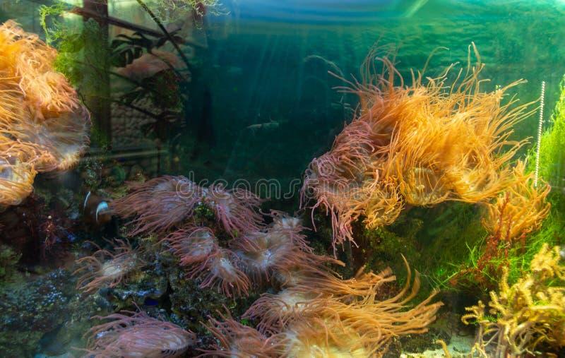 Sea corals and algae in the illuminated aquarium stock images