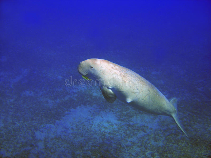 Sea cow (Dugong dugong). He dugong (Dugong dugon) is a large marine mammal which, together with the manatees, is one of four living species of the order Sirenia