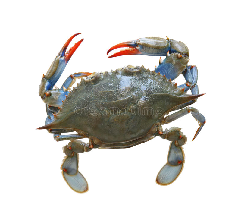 Download Sea Crab stock photo. Image of crab, soft, isolated, swimmer - 25947584