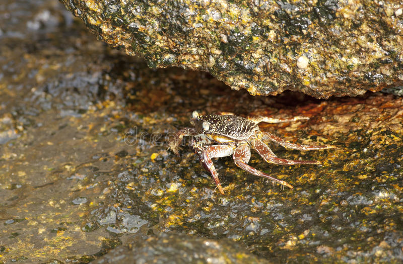 Download Sea crab stock photo. Image of grapsus, claw, fish, nature - 30683710