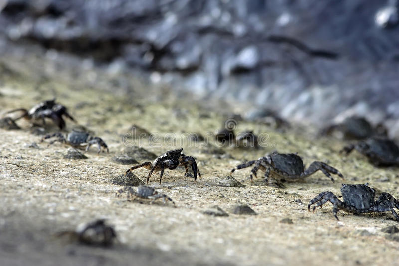 Sea crabs. Lot off sea crabs are running to catch the sea stock images
