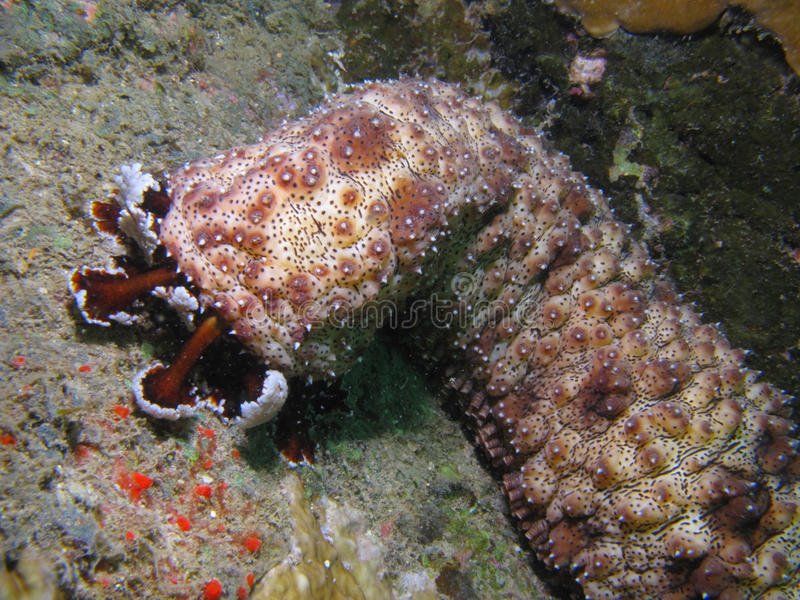 Sea cucumber. On coral reef in South China Sea (Vietnam royalty free stock photography