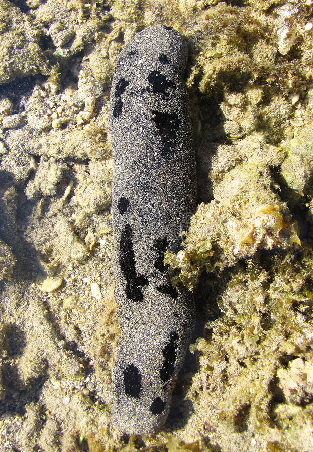 Free Sea Cucumber Stock Photos - 19196613