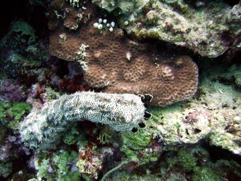 Sea cucumber royalty free stock photo