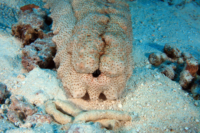 Download Sea cucumber stock image. Image of coral, indian, deep - 27892485