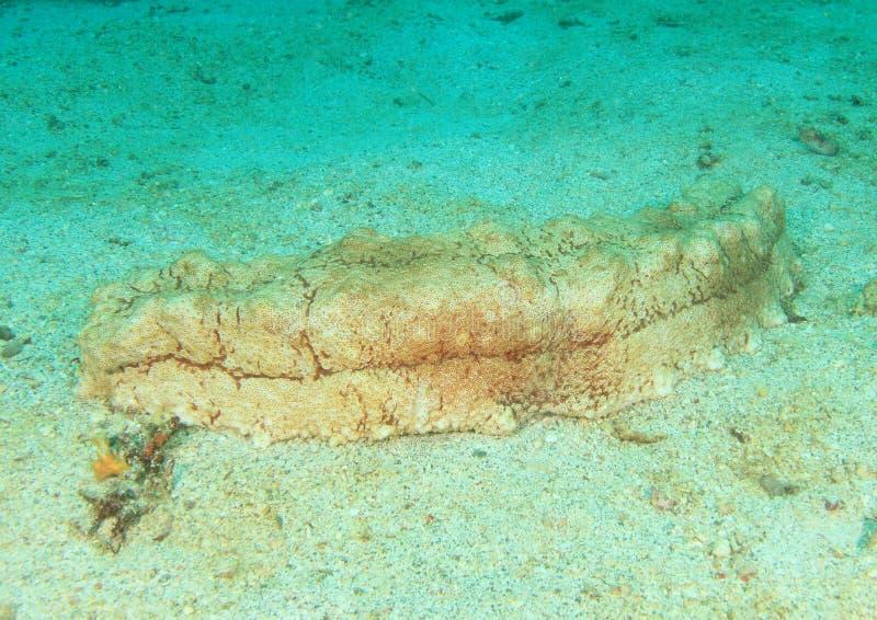Download Sea cucumber stock photo. Image of ocean, water, tropical - 38047636